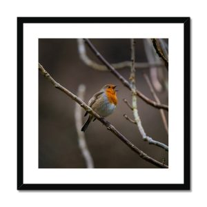 Buy Robin Redbreast Pictures